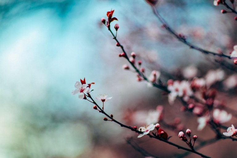 cherry blossom, cherry blossom tree, tree